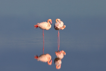 Fenicotteri / Flamants roses