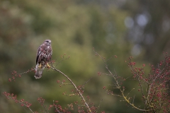 Buse variable (Buteo buteo), Suisse
